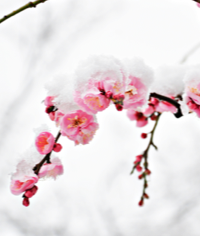 What Are the Best Winter Flowering Plants?
